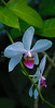 Puerto Rico; Cabo Rojo;orchid; flower