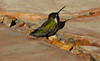 USA; Arizona; Phoenix; hummingbird confused after hitting glass
